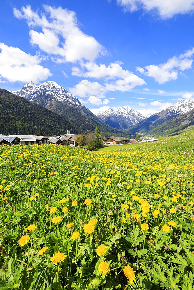 Yellow flowers framed by snowy peaks around the village of Guarda canton of Graubünden Inn District Engadine Switzerland Europe