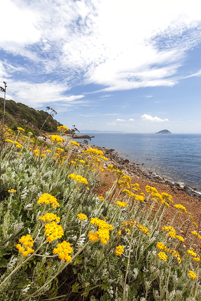 Wild flowers at Sansone Beach, Portoferraio, Elba Island, Livorno Province, Tuscany, Italy, Europe
