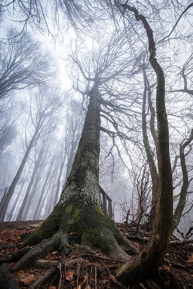 Trees in the mist, Parco della Grigna, province of Lecco, Lombardy, Italy - 1179-2990