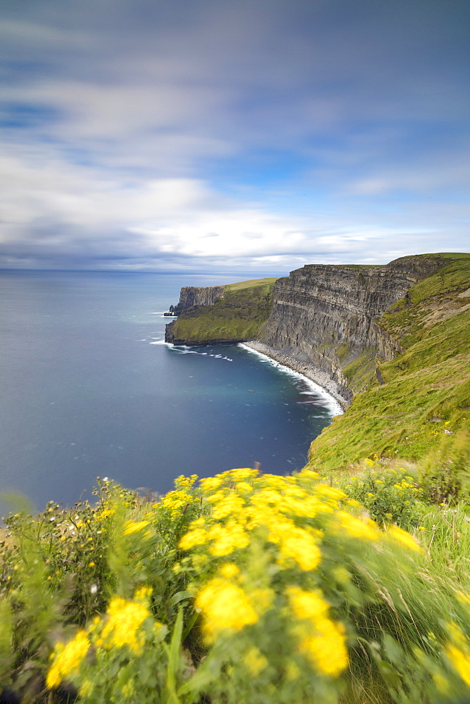 Wild flowers on steep reefs of Cliffs of Moher, The Burren, County Clare, Munster, Republic of Ireland, Europe