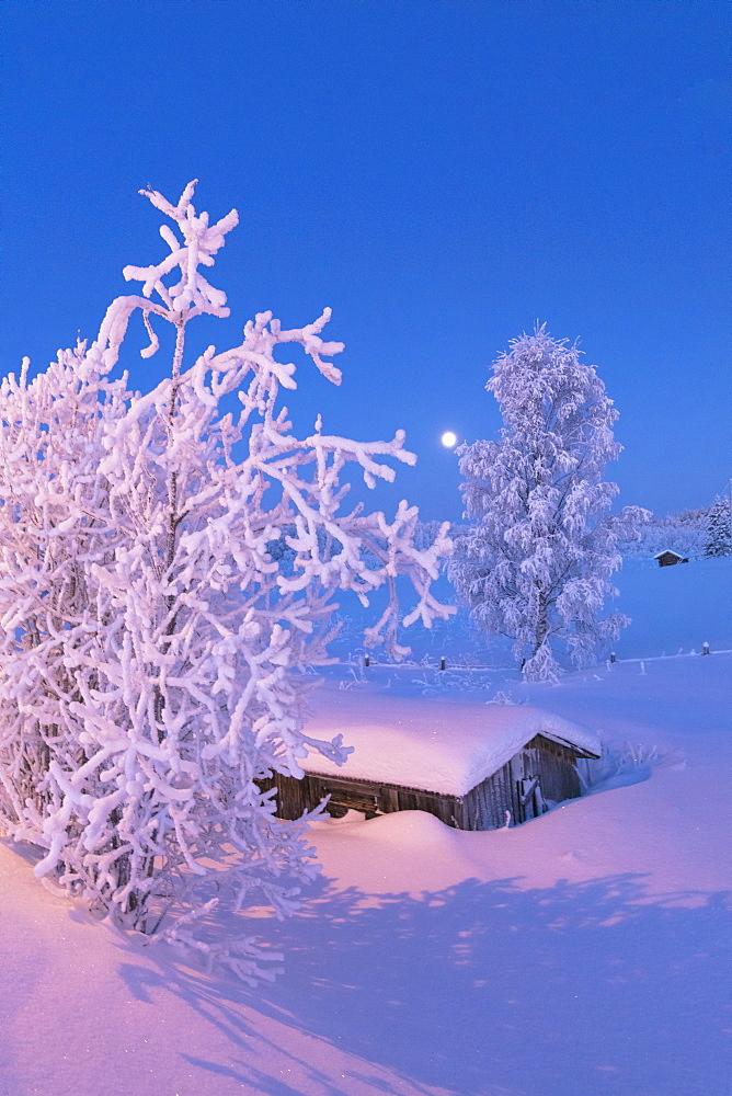 Dusk on frozen tree and hut, Sodankyla, Lapland, Finland, Europe