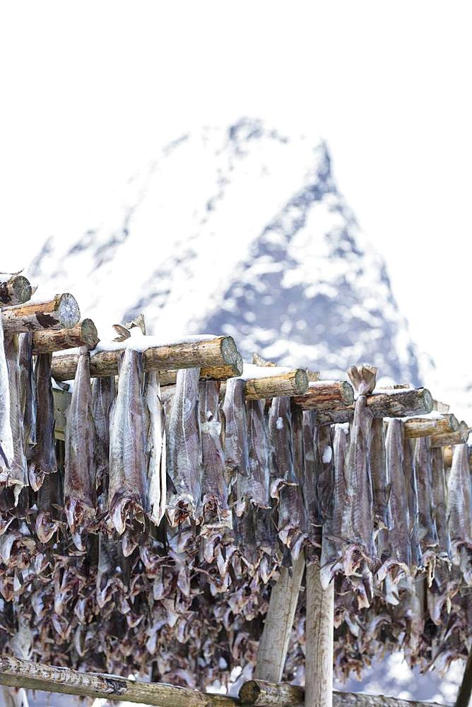 Stockfish on wood racks, Lofoten Islands, Nordland, Norway, Europe