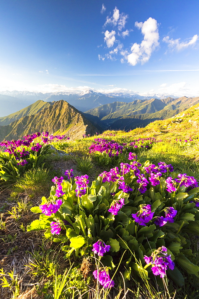 Wild flowers on Monte Azzarini with Monte Disgrazia and Pedena in the background, Albaredo Valley, Orobie Alps, Lombardy, Italy, Europe