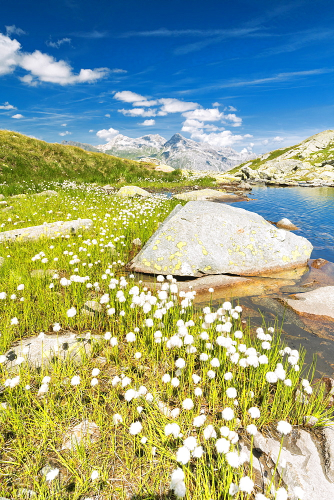 Cotton grass on the shore of lake Bergsee, Spluga Pass, canton of Graubunden, Switzerland, Europe