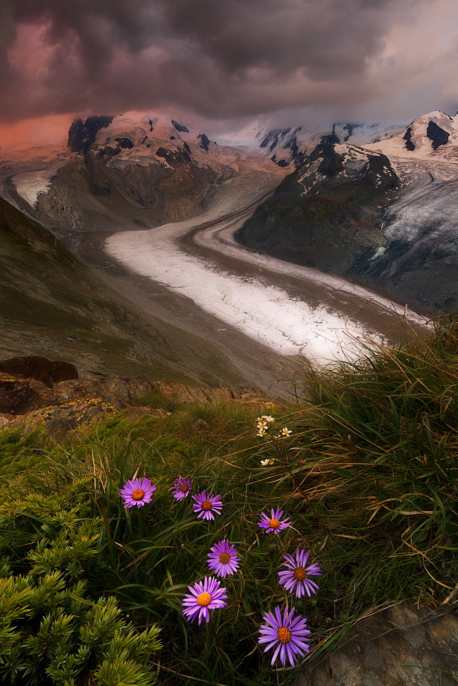 Wild flowers on rocks with Monte Rosa glacier in the background, Zermatt, canton of Valais, Swiss Alps, Switzerland, Europe