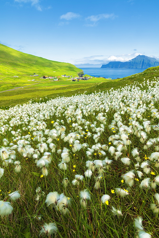 Cotton grass during summer bloom, Gjogv, Eysturoy island, Faroe Islands, Denmark, Europe