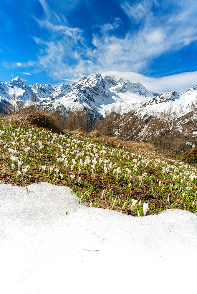 Crocus in bloom during spring, Alpe Oro, Valmalenco, Valtellina, Sondrio province, Lombardy, Italy, Europe