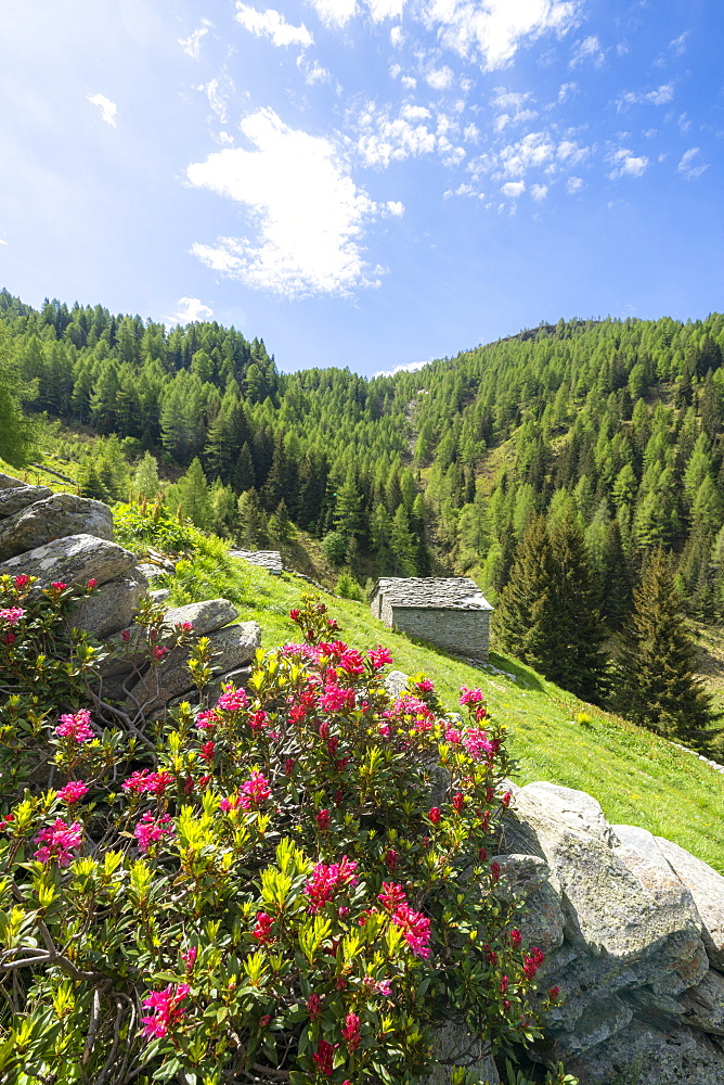 Rhododendrons in bloom surrounding huts and woods, Porcile Lakes, Tartano Valley, Valtellina, Sondrio province, Lombardy, Italy, Europe