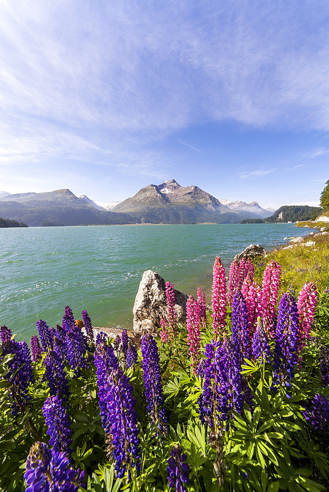 Pink and purple lupins blooming by Lake Sils in Engadine, not far from Saint Moritz, Graubunden, Switzerland, Europe