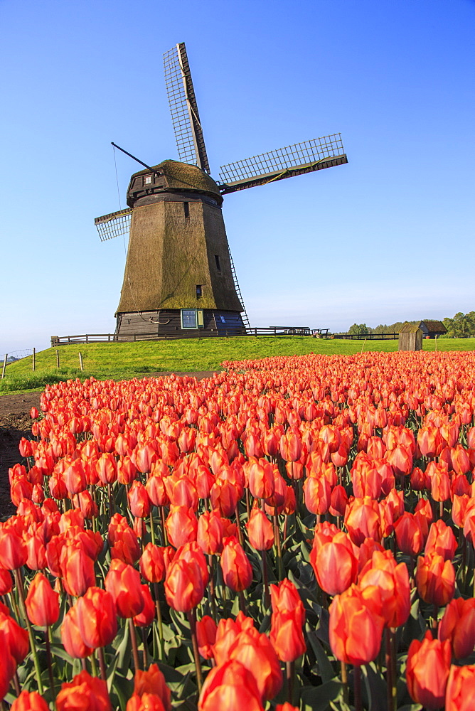 Red and orange tulip fields and the blue sky frame the windmill in spring, Berkmeer, Koggenland, North Holland, Netherlands, Europe