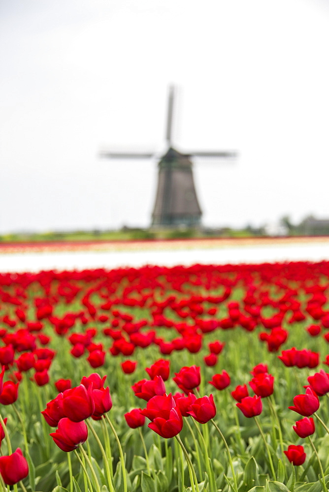 Red tulip fields frame the windmill in spring, Berkmeer, Koggenland, North Holland, Netherlands, Europe
