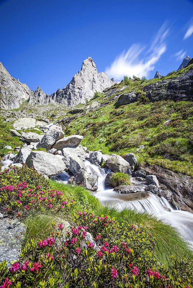 Rhododendron blooming by a stream in Valmasino, famous for its granite walls, Valtellina, Lombardy, Italy, Europe
