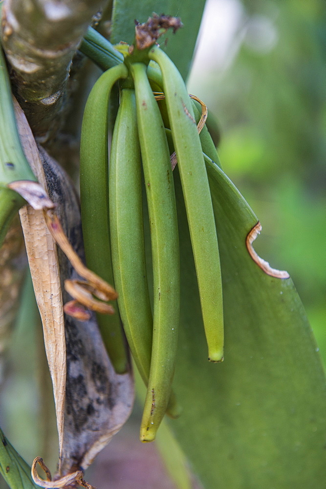 Close up of vanilla plants on a vanilla plantation (Vanilla planifolia), Ouvea, Loyalty Islands, New Caledonia, Pacific