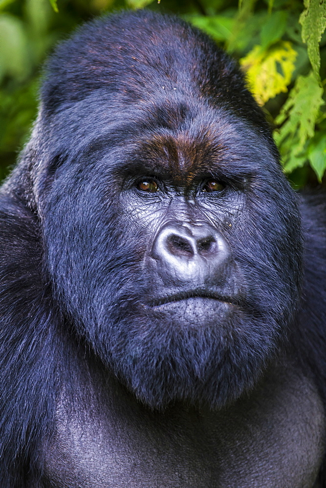Silverback Mountain gorilla (Gorilla beringei beringei) in the Virunga National Park, UNESCO World Heritage Site, Democratic Republic of the Congo, Africa