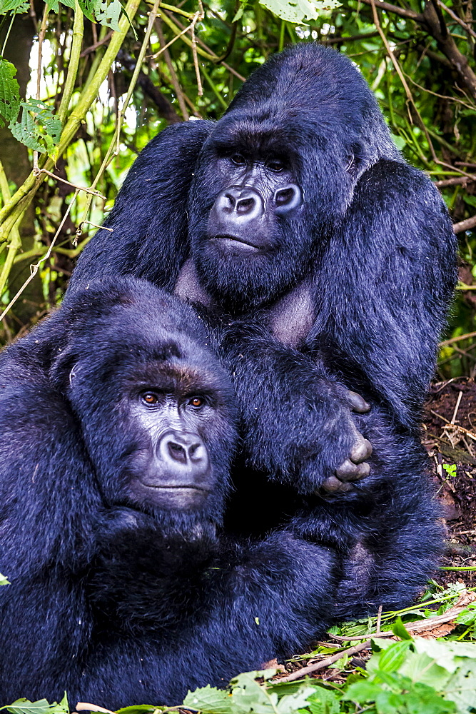 Silverback Mountain gorillas (Gorilla beringei beringei) in the Virunga National Park, UNESCO World Heritage Site, Democratic Republic of the Congo, Africa