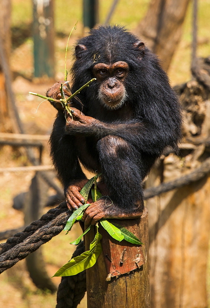 Chimpanzee orphan in the Tacugama Chimpanzee Sanctuary, Sierra Leone, West Africa, Africa