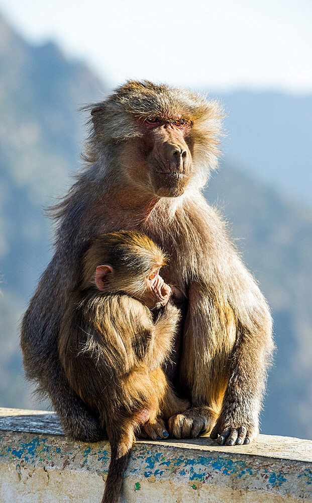 Mother with baby baboon on Mount Souda, highest mountain in Saudi Arabia, Abha, Saudi Arabia, Middle East