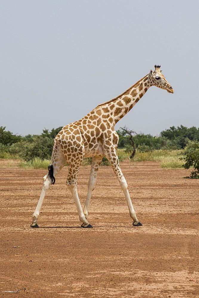 West African giraffes (Giraffa camelopardalis peralta), Koure, Niger, West Africa, Africa