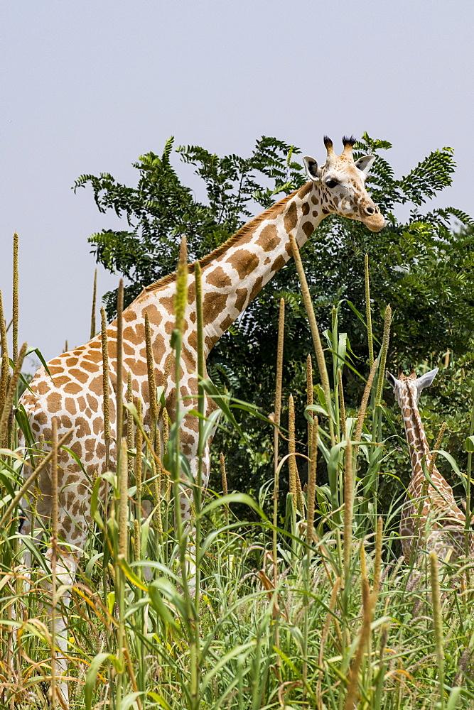 West African giraffes (Giraffa camelopardalis peralta), Koure, Niger