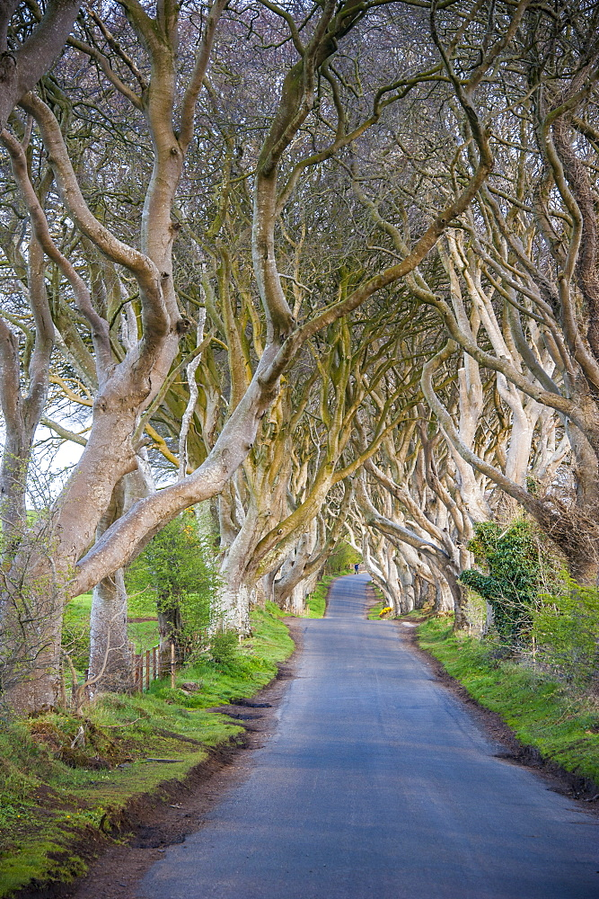 The Dark Hedges in Northern Ireland, beech tree avenue, Northern Ireland, United Kingdom, Europe