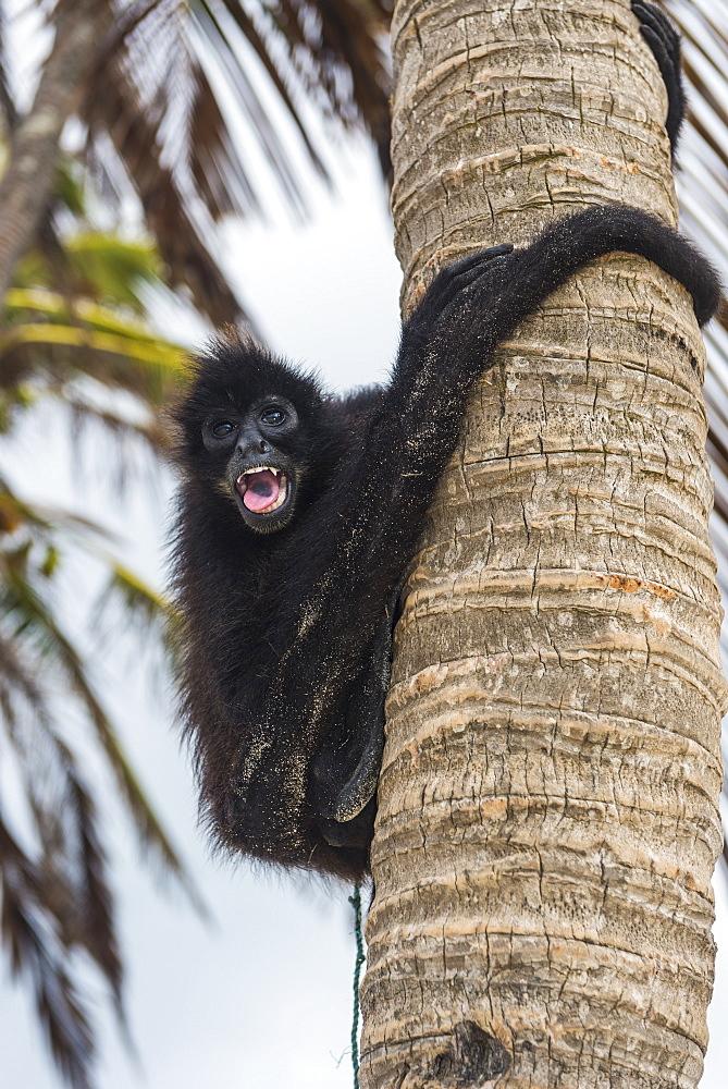 Spider monkey (Atelidae), Achutupu, San Blas islands, Kuna Yala, Panama