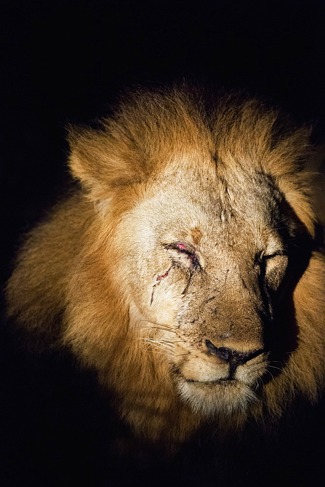 African Lion (Panthera Leo), Zambia, Africa - 1185-235