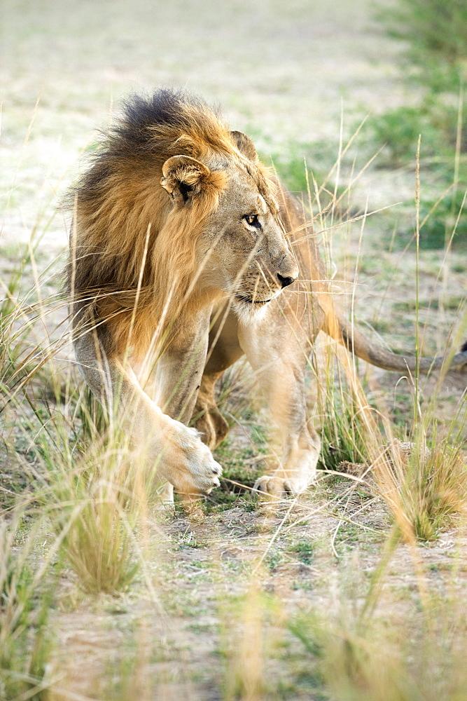 African Lion (Panthera Leo), Zambia, Africa - 1185-240