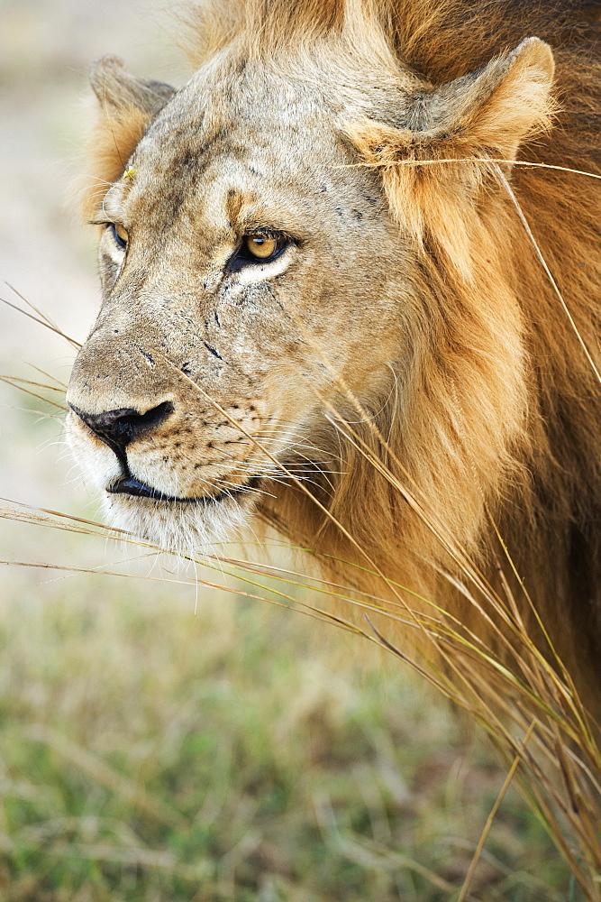 African Lion (Panthera Leo), Zambia, Africa - 1185-241
