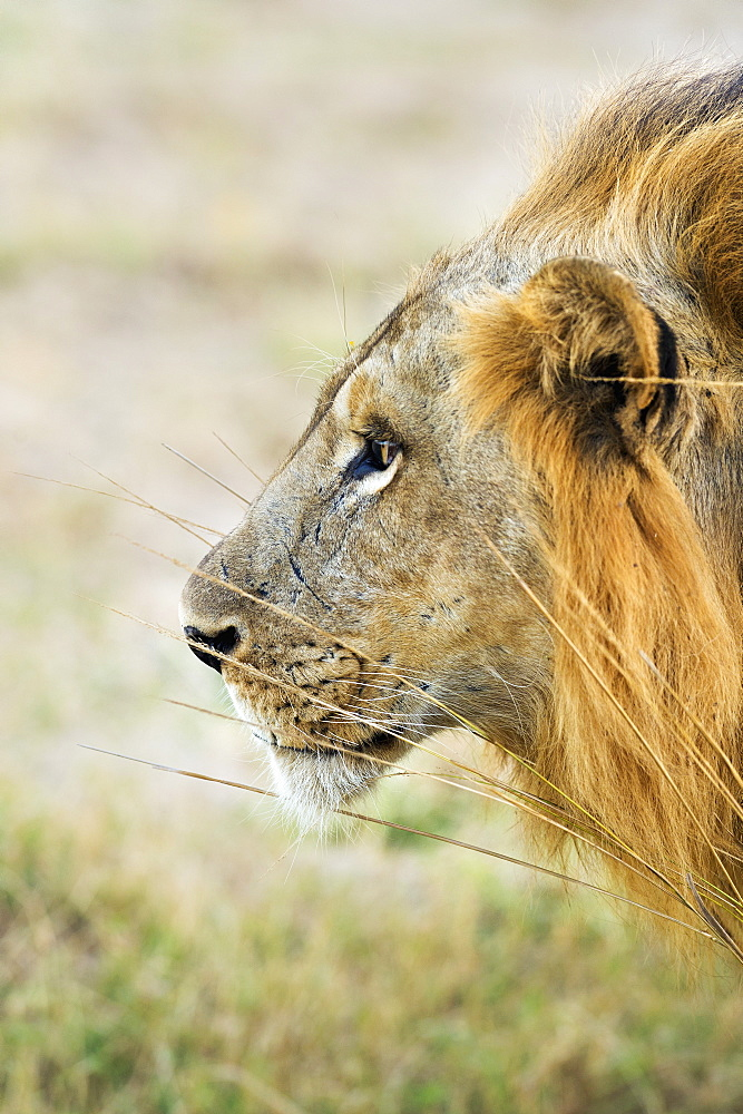 African Lion, Panthera Leo