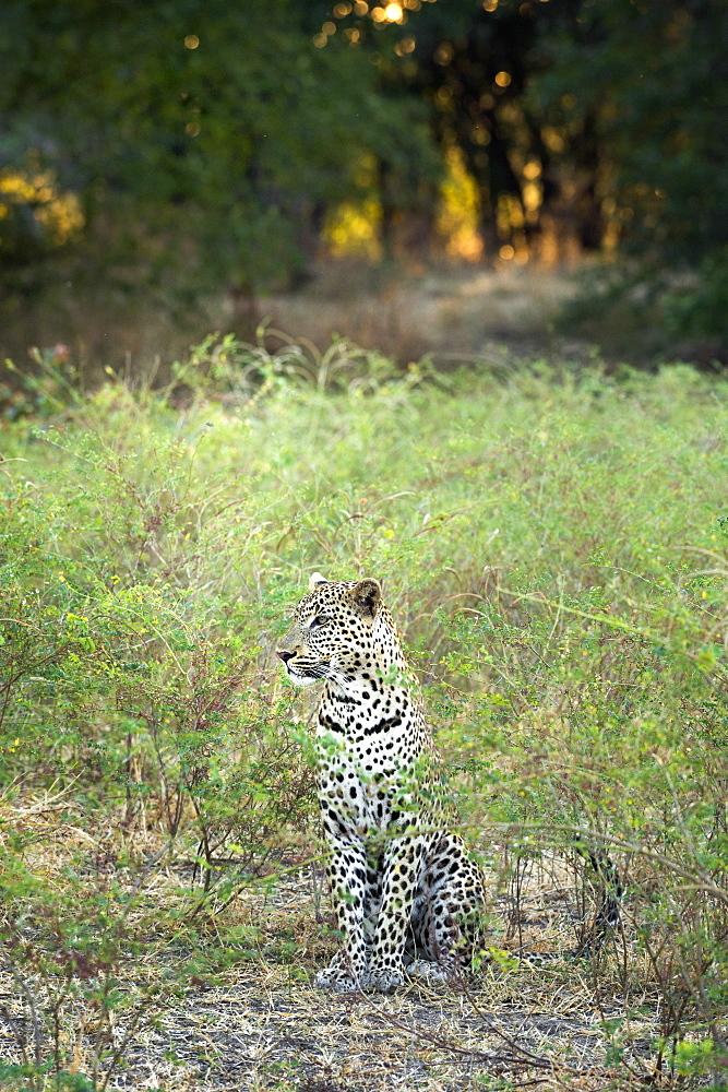 Leopard (Panthera Pardus), Zambia, Africa - 1185-246