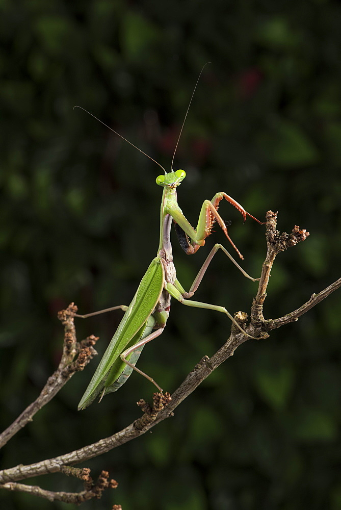 Stick Mantis (Mantodea), captive, Zambia, Africa