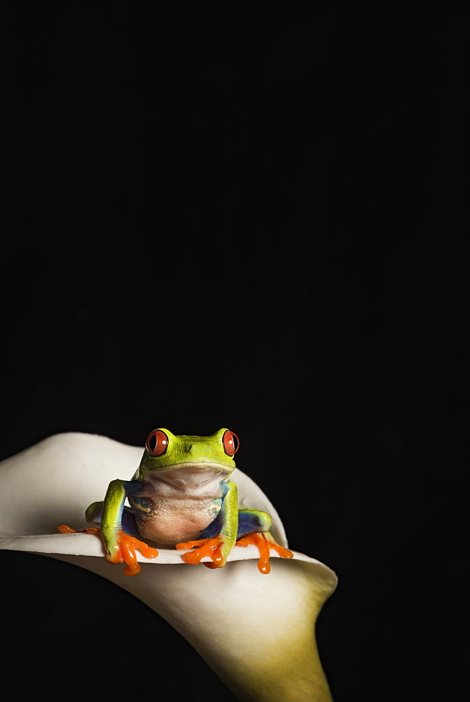 Red eyed tree frog (Agalychnis Callidryas), captive, United Kingdom, Europe
