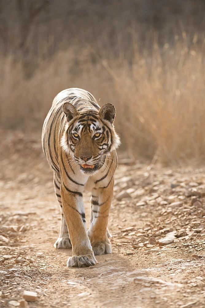 Bengal tiger (Panthera tigris tigris), Ranthambhore, Rajasthan, India, Asia - 1185-354