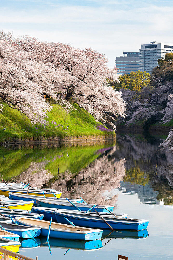 Cherry blossoms at Chidorigafuchi moat - 1186-781