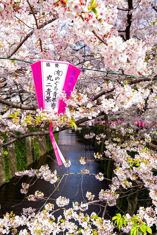 Meguro River during cherry blossom - 1186-783