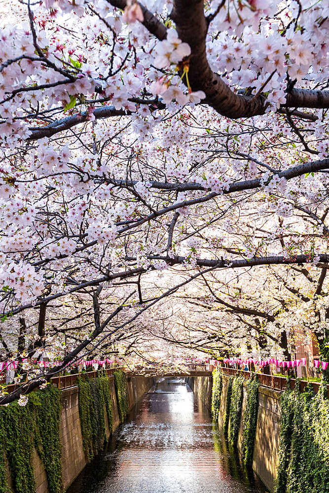 Meguro River during cherry blossom