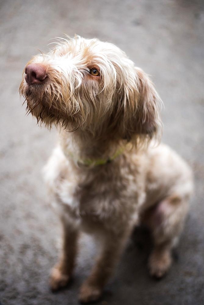Wired-haired Viszula, gun dog, England, United Kingdom, Europe