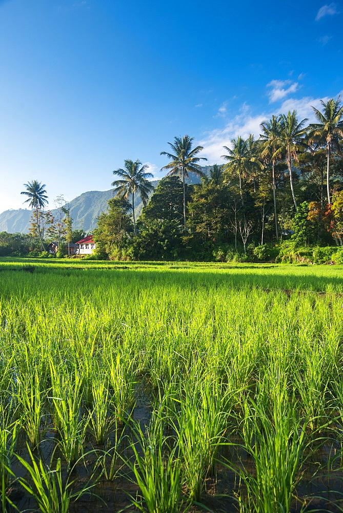 Padi Field in lake Toba, Sumatra, Indonesia, Southeast Asia - 1199-406