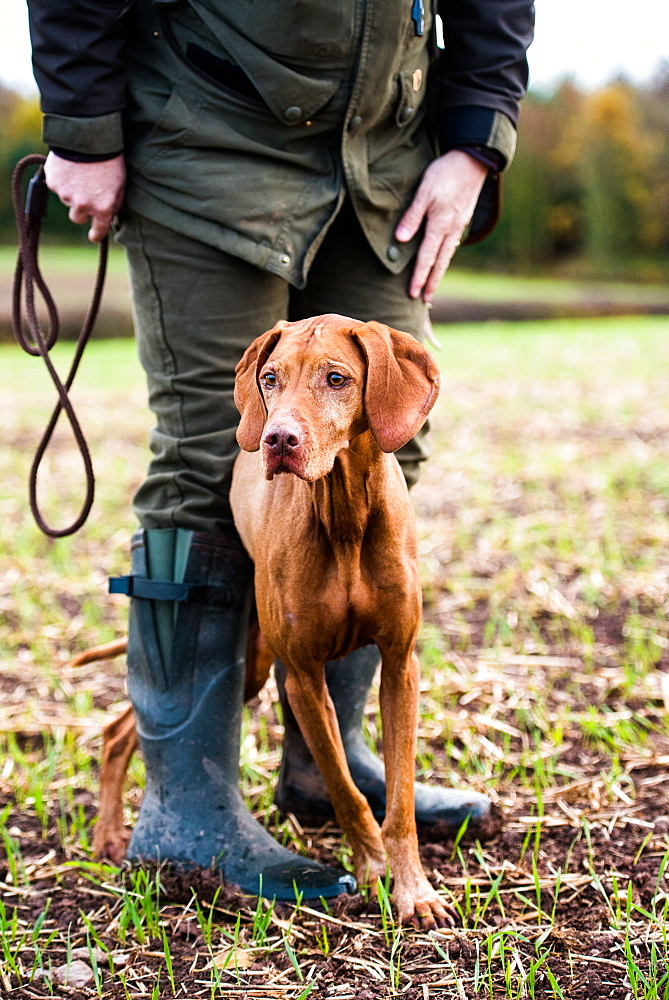 Gun dog and its owner on a game shoot, Norfolk, England, United Kingdom, Europe - 1199-458