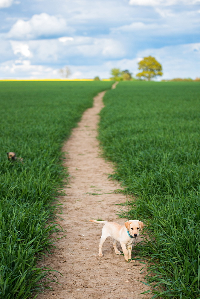 Golden Labrador puppy standing in a field, United Kingdom, Europe - 1199-537