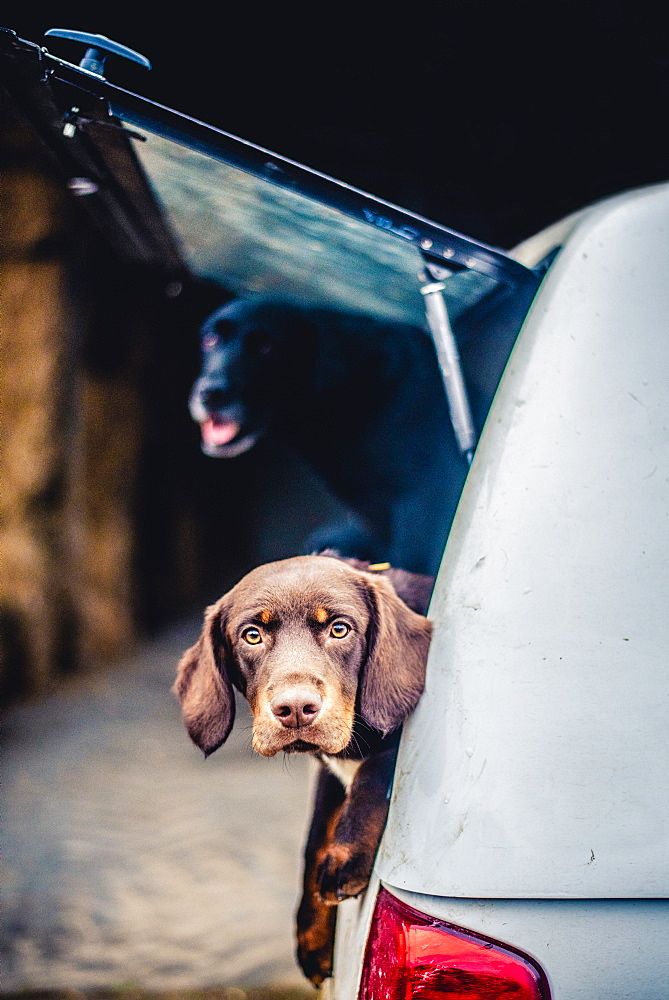 Spaniel with its head poking out of the boot of a car
