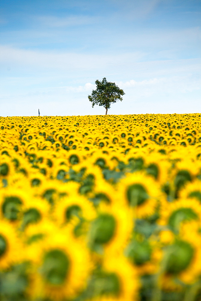 Sunflowers (Helianthus), Chillac, Charente, France, Europe