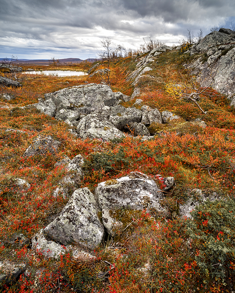 Rocks and Dwarf birch (Betula nana), autumn colour, Ruska, Kilpisjarvi, Lapland, Finland, Europe