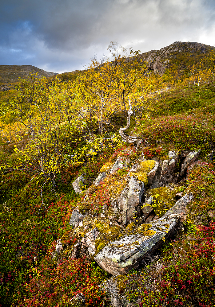 Autumn colour in Anderdalen National Park, Senja, Norway, Scandinavia, Europe