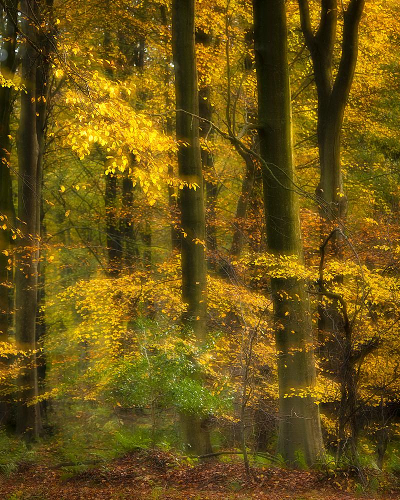 Common beech trees (Fagus sylvatica), autumn colour, Kent, England.