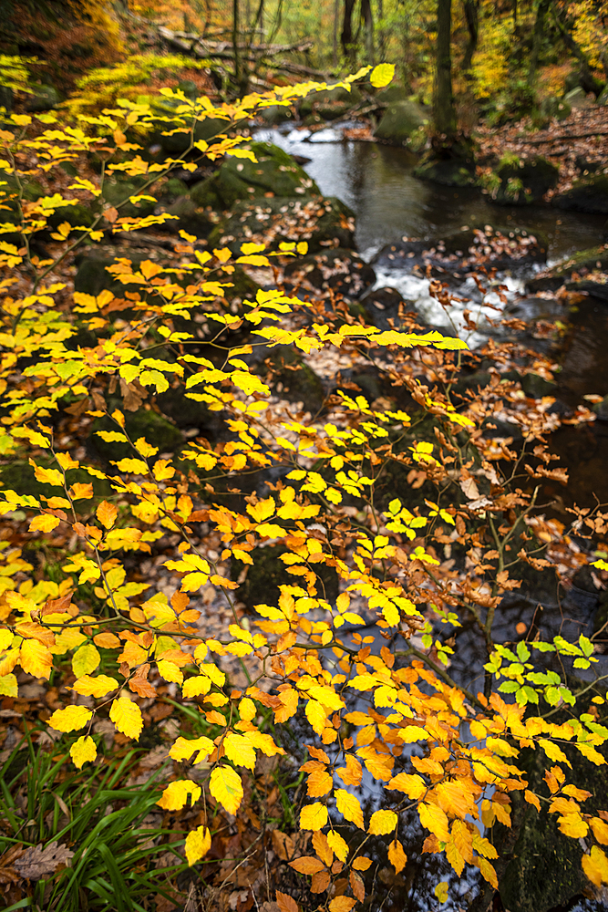 Beech leaves (Fagus sylvatica) and stream, Padley Gorge, Peak District National Park, Derbyshire, autumn.