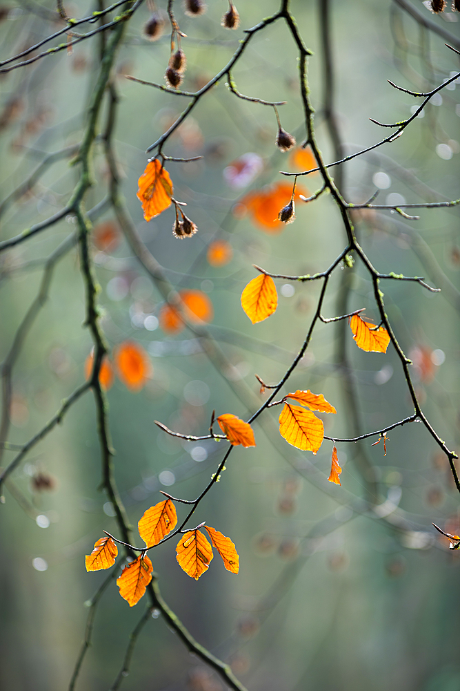 Common beech (Fagus sylvatica) leaves, autumn colour, King's Wood, Challock, Kent, England, United Kingdom, Europe