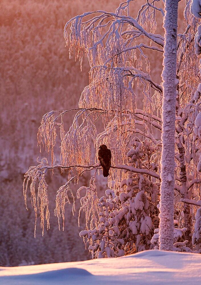 Golden eagle (Aquila chrysaetos) in snow covered tree at sunset, Kuusamo, Finland. - 1200-415