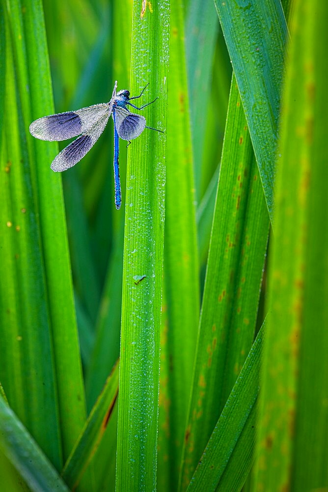 Banded Demoiselle (Calopteryx splendens) covered with dew, Kent, England, july - 1200-423