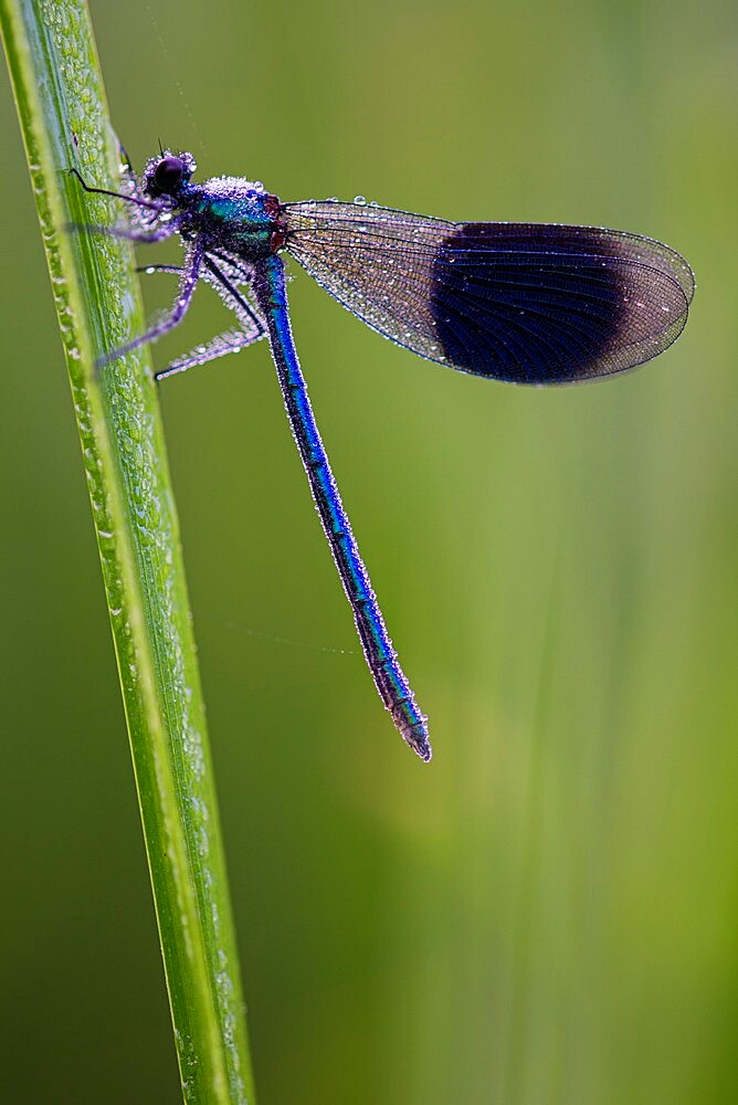 Banded Demoiselle (Calopteryx splendens) covered with dew, Kent, England, july - 1200-425